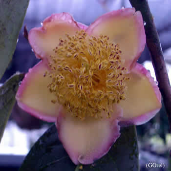 Camellia dongnaiensis
