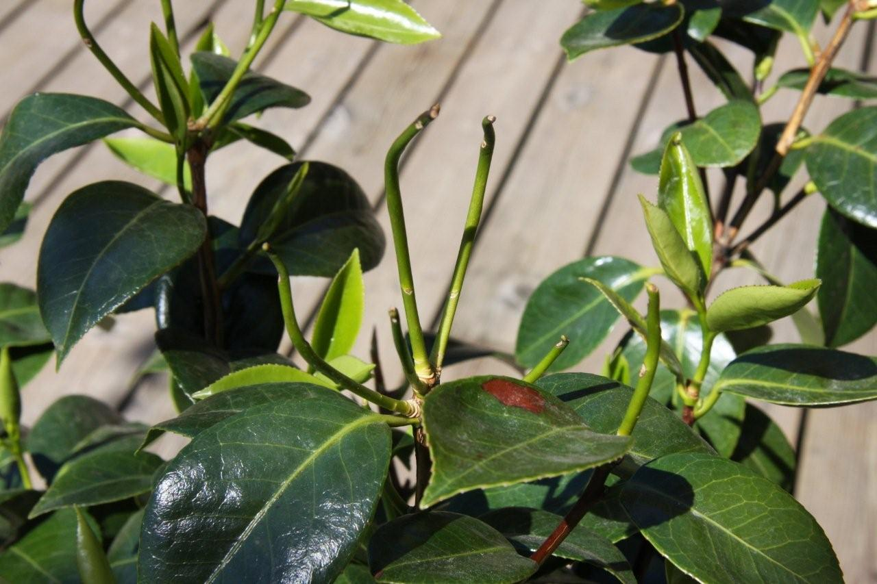 Tender camellia shoots affected by cold conditions