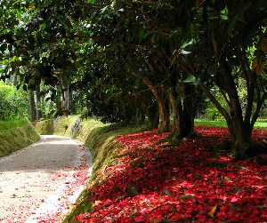 A carpet of petals of an old Camellia japonica