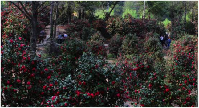 The Foding Camellia Garden in March
