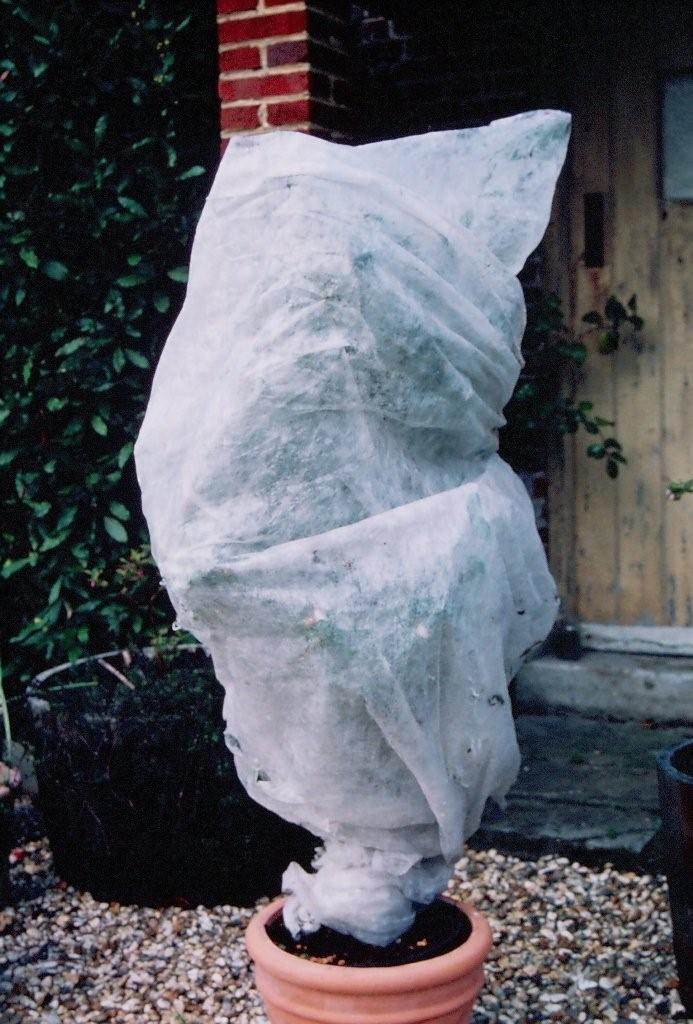 Winter protection of camellia with horticultural fleece