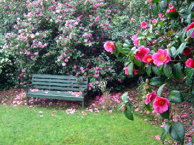 Trewithen Camellias
