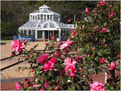 Camellia Garden Of Tokyo Metropolitan Oshima Park