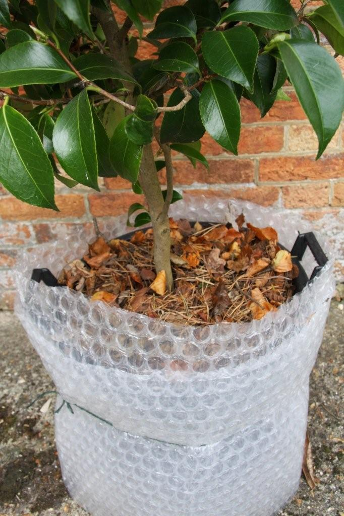 Camellia in container soil wrapped for winter