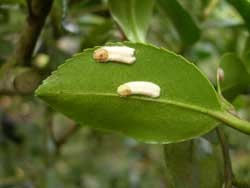 scale insects on camellias